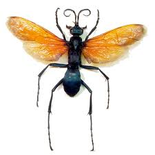 Pepsis Wasp