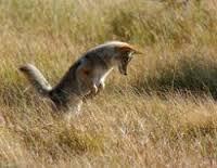 coyotec